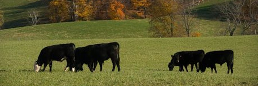 beef_cow_management_updates_three_iowa_locations_1_635132334535909355.jpg